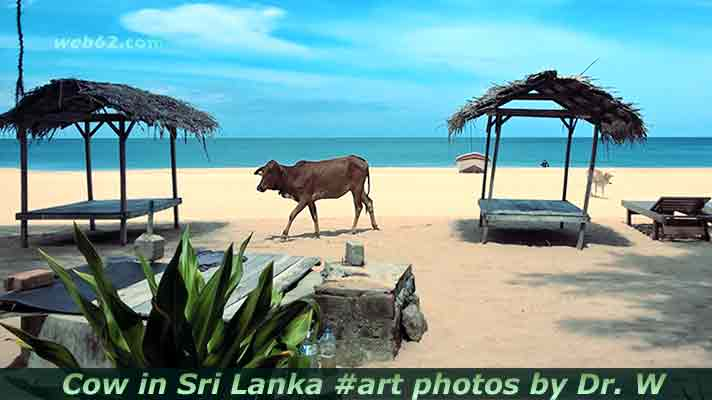 cow in Sri Lanka
